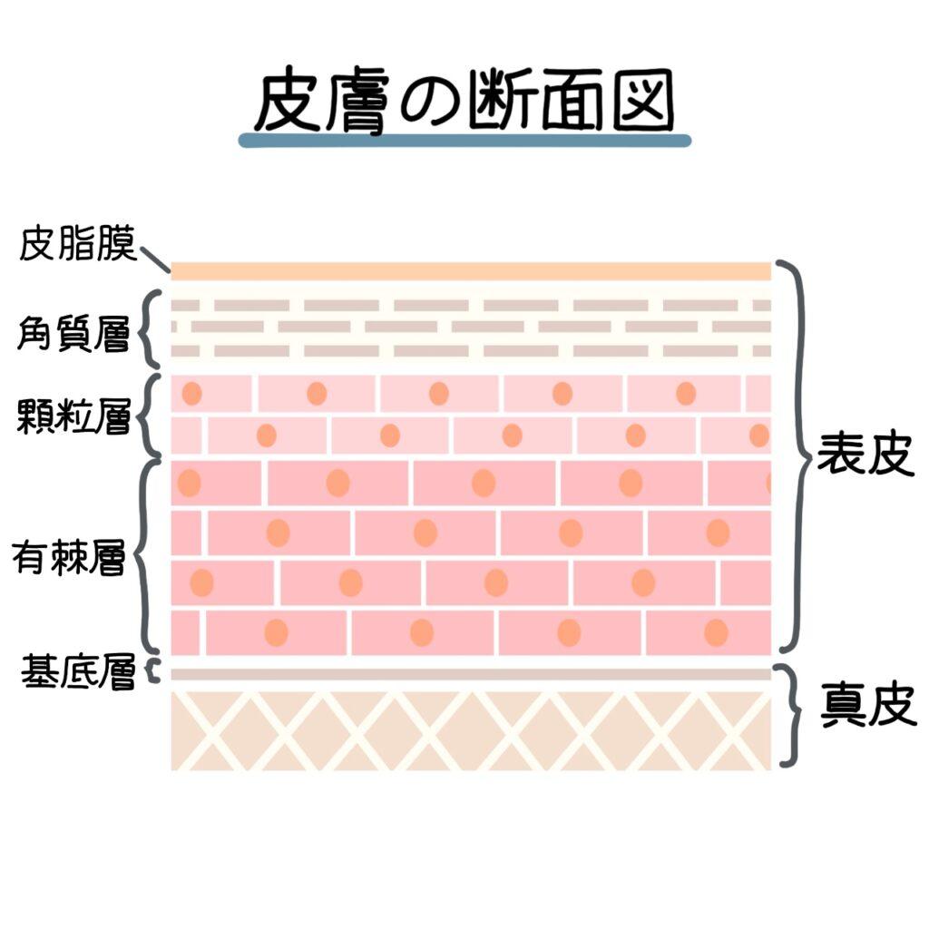 表皮の断面図のイラスト